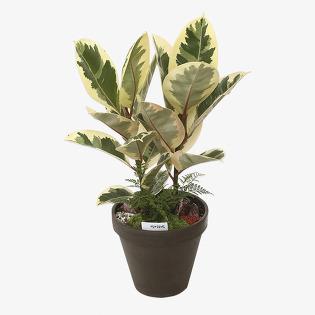 [당일배송] 칼라고무나무 (선물, 화분, 꽃배달, 승진, 개업, 집들이, 공기정화)